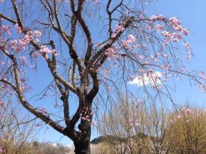 花フェスタしだれ桜